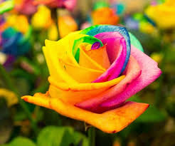 tie dye roses colored roses