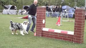 australian shepherd jumping agility australian shepherd diesel jumping youtube