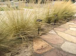 native florida plants for home landscapes mexican feather grass invasive beauty can be deceiving uc