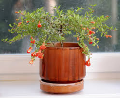 indoor pomegranate tree tips on growing pomegranate trees indoors
