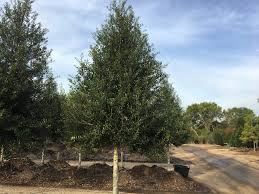 Patio Supplies by Patio Holly Southwest Nursery Wholesale Landscaping Supplies
