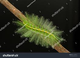 caterpillar against black background family butterfly stock photo