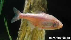 Mexican Blind Cave Fish Bbc Nature How Animals Can Help Us Understand Disease