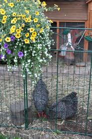 Can You Have Chickens In Your Backyard 91 Best Images About What U0027s The Coop On Pinterest The Chicken