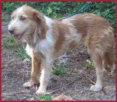 australian shepherd orange county i found tallulah on australian shepherd dogs australian