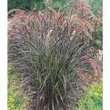 shop ornamental grasses at lowes