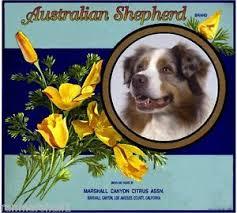 australian shepherd orange marshall canyon australian shepherd orange citrus fruit crate