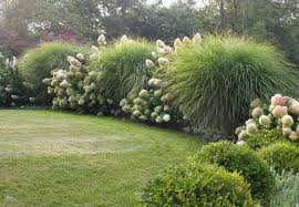 miscanthus sinensis morning light maiden grass