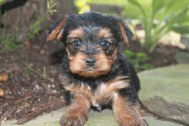 puppies for sale pa terrier puppies for sale pa photo