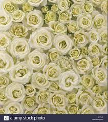 Muted Green by Flowers Tea Roses Vertical Photograph White Light Green Muted