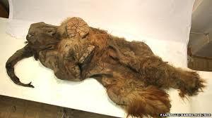 bbc nature woolly mammoth carcass cut humans