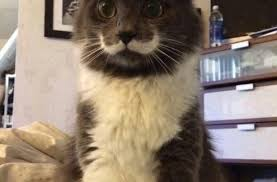 Mustache Cat Meme - mustache cat funny pictures quotes memes funny images funny