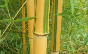 buy spectabilis green groove bamboo 2 gallon bamboo plants