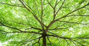 wide branches of green tree wallpaper wall decor