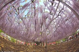 flowers that are out of this enchanting wisteria vines in