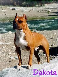 l american pitbull terrier a p b t larum u0027s apbt kennel