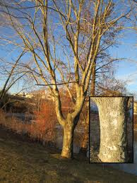 Winter Tree Identification Part I Deciduous Trees New York State