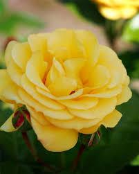 climbing arthur bell climbing rose