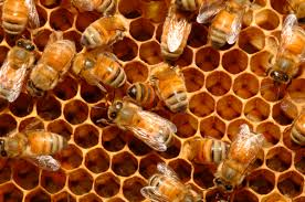 North Dakota how fast does sperm travel images A new sperm bank for honeybees could save agriculture civil eats jpg