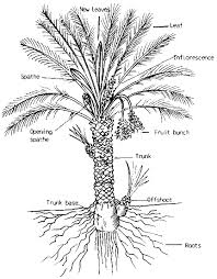 what are the parts of a palm tree quora