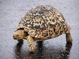 Ringed Map Turtle 163 Best Turtle Tartaruga Images On Pinterest Turtles