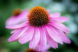 echinacea flower free photo echinacea purpurea flower blossom free image on