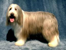 bearded collie brown bearded collie diagnostic therapeutic and disease planetanimalzone