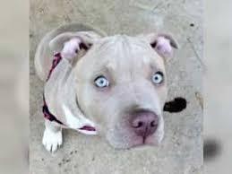 american pit bull terrier zucht familie sucht american pitbull oder freiburg american pit