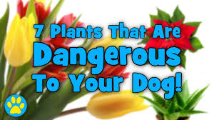 7 plants that are dangerous to dogs youtube