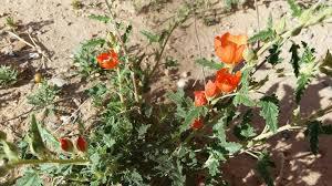 file desert flower orange in el paso jpg wikimedia commons