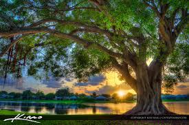 sunset banyan tree at lake pbg florida