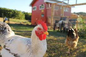 da coop backyard chickens