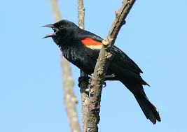 Maryland birds images Maryland biodiversity project red winged blackbird agelaius jpg