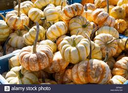 ornamental gourd variety different pumpkins for decoration and
