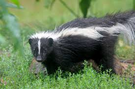 it u0027s skunk spotting season u2014 relax and make some noise toronto star
