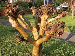 properly prune your crape myrtle for a single stem multi stem or