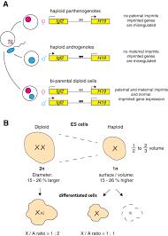 haploid genomes illustrate epigenetic constraints and gene dosage