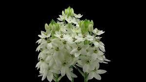 of bethlehem flower time lapse of opening white of bethlehem flower ornithogalum