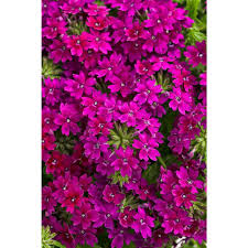 halloween freesia verbena garden plants u0026 flowers garden center the home depot