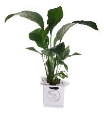 Peace Lily Plant Peace Lily Plant Amys Flowers