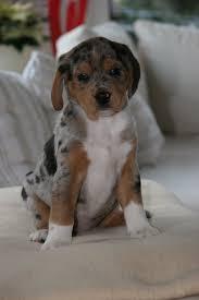 beagle x australian shepherd beagle australian shepherd bilder der hunde
