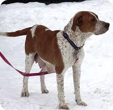 boxer dog for adoption sadie adopted dog morgantown wv redtick coonhound boxer mix