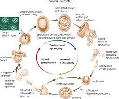 Diseases Caused By Protozoa In Plants - 5 1 unicellular eukaryotic microorganisms biology libretexts
