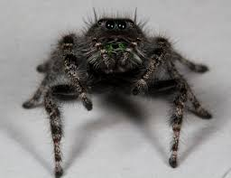 jeepers peepers why spiders have so many eyes
