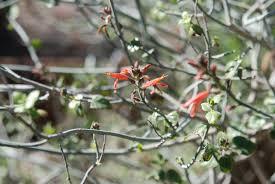 san diego county native plants 100 san diego native flowers a california native plant