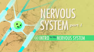 the nervous system part 1 crash course a u0026p 8 youtube