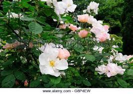 Fragrant Climbing Plant - rose shropshire lass fragrant climbing rose stock photo royalty