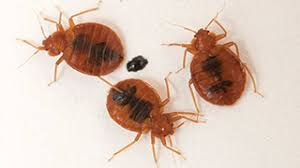 How To Avoid Bed Bugs How To Avoid Bed Bugs Indoor Pests Ortho