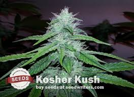 kosher kush seeds grow yummy smelling mint eucalyptus musk