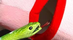 snake peppa pig u0027s mouth doctor rapunzel u0026 nurse minnie